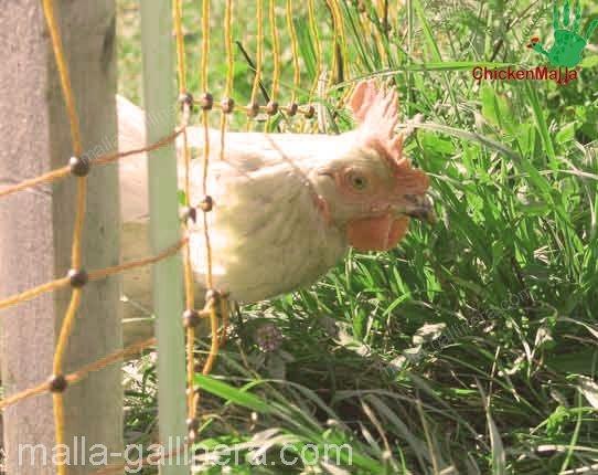 gallo dentro de la protección de malla gallinera CHIKENMALLA.
