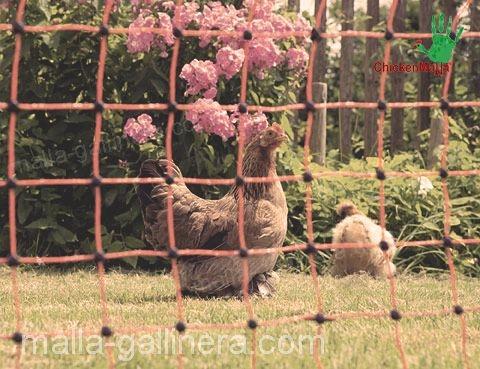 gallinas con protección de CHICKENMALLA.