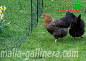 gallinas protegidas en gallinero